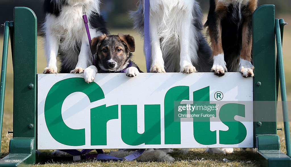 Collie cross Tiff, a five-month-old homeless rescue dog from Valgrays Border Collie Rescue Centre, poses during a photocall to launch Crufts 2013 on March 5, 2013 in Birmingham, England. During this year's four-day competition over 22,000 dogs and their owners will vie for a variety of accolades but ultimately seeking the coveted 'Best In Show'.