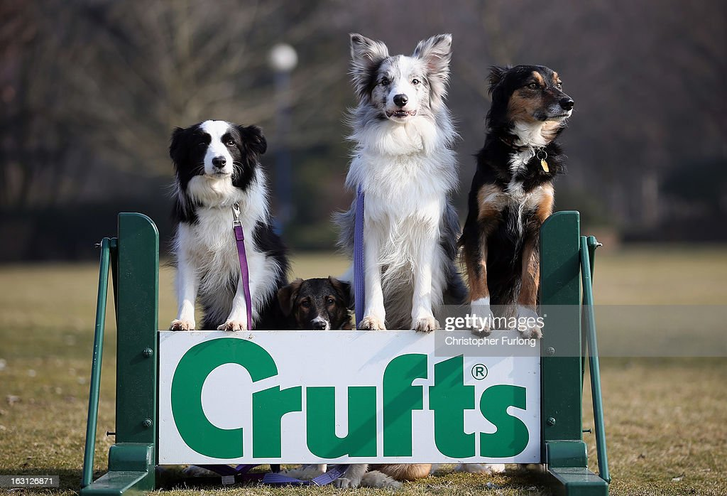 Collie cross Tiff (2nd left), a five-month-old homeless rescue dog joins Collie dogs Holly (L) Frostie and Jimmy (R) who are competing at Crufts 2013 and have all come from Valgrays Border Collie Rescue Centre during a photocall to launch Crufts 2013 on March 5, 2013 in Birmingham, England. During this year's four-day competition over 22,000 dogs and their owners will vie for a variety of accolades but ultimately seeking the coveted 'Best In Show'.
