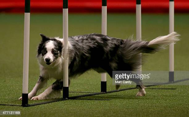 A collie dog competes in the agility competition on the second day of the Crufts dog show at the NEC on March 7 2014 in Birmingham England Said to be...