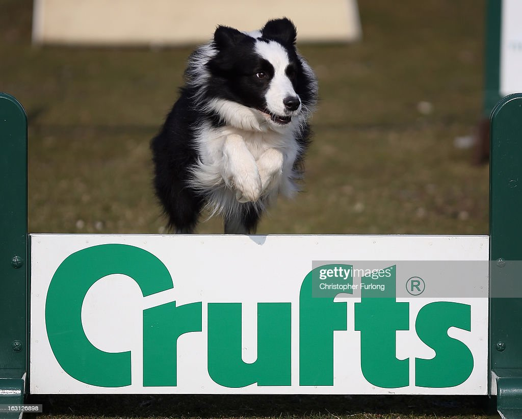 Collie dog Holly, who is competing in the agility section at Crufts and was rehomed by Valgrays Border Collie Rescue Centre, takes part in a photocall to launch Crufts 2013 on March 5, 2013 in Birmingham, England. During this year's four-day competition over 22,000 dogs and their owners will vie for a variety of accolades but ultimately seeking the coveted 'Best In Show'.