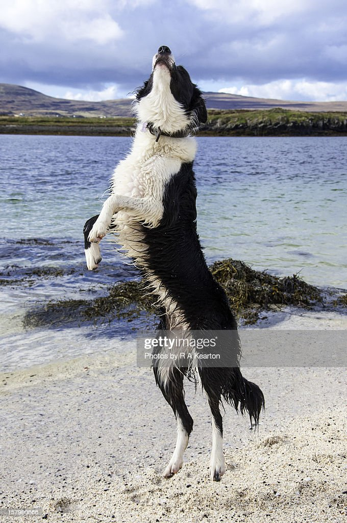 Collie dog jumping for joy : Stock Photo