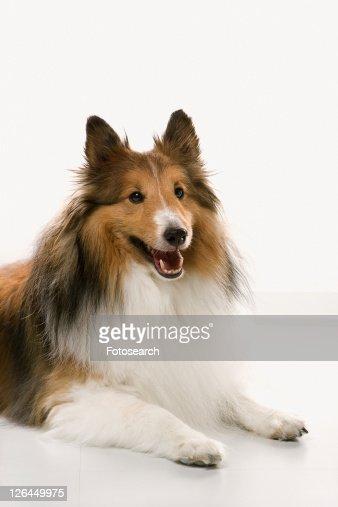 Collie dog.