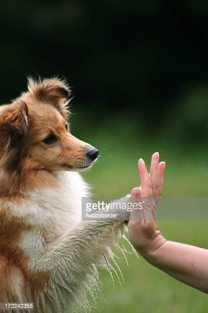 Collie giving his owner a high five