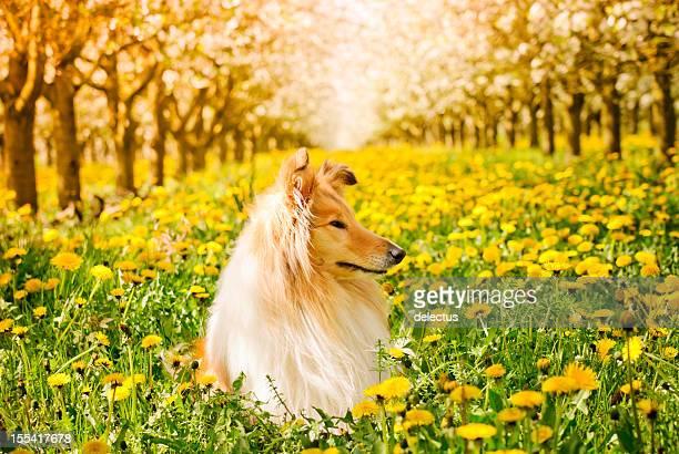 Collie en la primavera