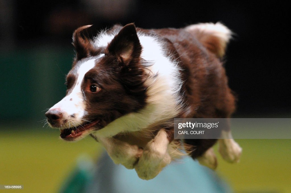 A collie performs a jump during the agility competition on the fourth day of Crufts dog show in Birmingham, central England on March 10, 2013. The annual event sees dog breeders from around the world compete in a number of competitions with one dog going on to win the 'Best in Show' category.