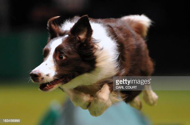 A collie performs a jump during the agility competition on the fourth day of Crufts dog show in Birmingham central England on March 10 2013 The...