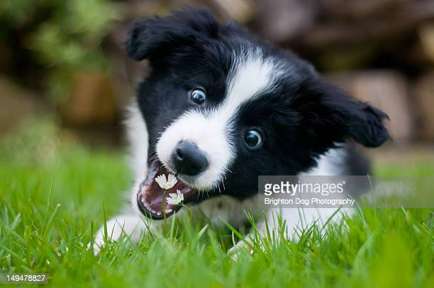 Collie puppy about to eat some flowers
