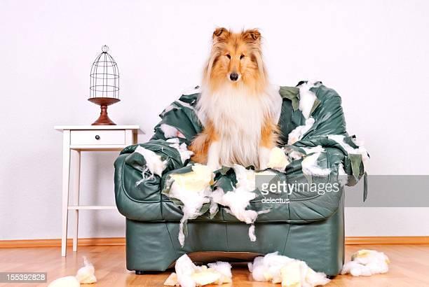 Collie tattered sentado en una silla de cuero