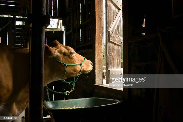 A dairy cow waits to be milked in a rustic timber children's farm barn