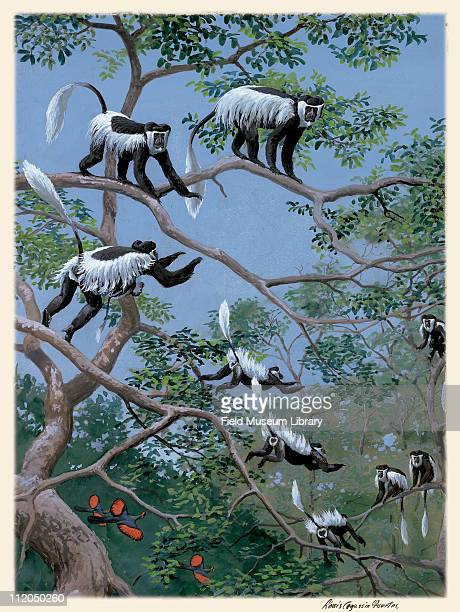 Colobus Group Mammal Plate 111 a watercolor Louis Agassiz Fuertes 1926