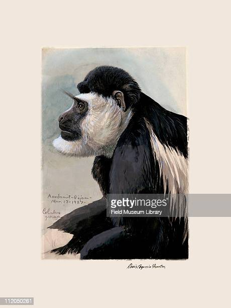 Colobus Profile Mammal Plate 109 a watercolor Louis Agassiz Fuertes 1927