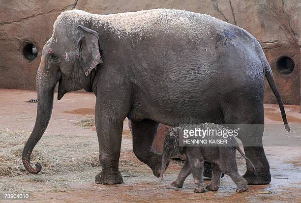 A new born baby elephant walks beside his mother 'Tong Koon' 17 April 2007 in their enclosure at the zoo in Cologne western Germany The little...