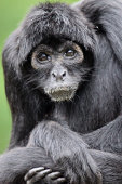 Colombian black-faced spider monkey