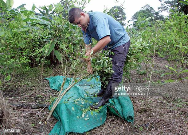 A Colombian coca grower tears out leafs of coca in the first step of the production of cocaine 10 October in the Nariño department Colombia Peasants...