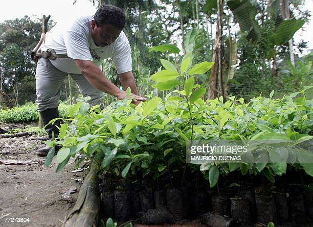 A Colombian coca grower works on bushes of coca in a seed tray 10 October in the Nario department Colombia Peasants who had their plantations...