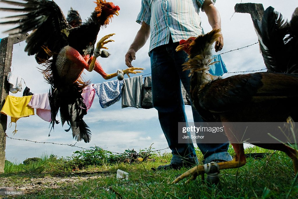 A Colombian cock trainer observes a training cockfight in Villavicencio, Colombia, 17 April 2006. Cockfight is a widely popular and legal sporting event in much of Latin America. The fight is usually held in an arena (gallera) with seats for spectators. There is always gambling involved in cockfights. People take advantage of cock's natural, strong will to fight against all males of the same species. Cocks are specially trained to increase their aggression, stamina and to improve their fighting techniques, basically in the same way like professional athletes are. They are given the best of food and care. The cocks are equipped with tortoise-shell made gaffs tied to the bird's leg. The fight is not intentionally to the death but it may result in the death of cocks very often because birds never stop fighting till they are dead.
