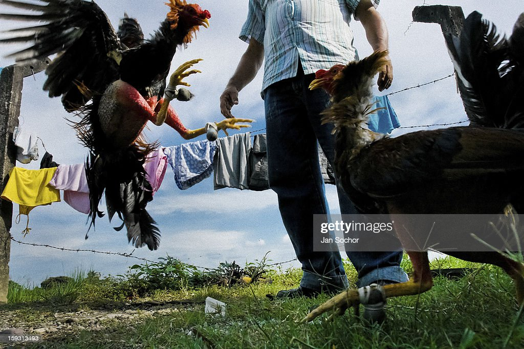 A Colombian cock trainer observes a training cockfight in Villavicencio, Colombia on April 17 2006. Cockfight is a widely popular and legal sporting event in much of Latin America. The fight is usually held in an arena (gallera in spanish) with seats for spectators. There is always gambling involved in cockfights. People take advantage of cock's natural, strong will to fight against all males of the same species. Birds are specially bred to increase their aggression and stamina, they are given the best of food and care. The cocks are equipped with tortoise-shell made gaffs tied to the bird's leg. The fight is not intentionally to the death but it may result in the death of cocks very often.