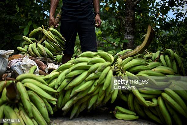 A Colombian indigenous man harvests plantains during the 'First Intergenerational Summit on Traditional Knowledge and Leaders of the Amazon' held to...