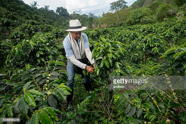 Colombian man working at a coffee farm