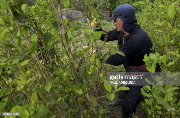 A Colombian peasant works in eradication of coca plantations in the mountains of Yali municipality northeast of Medellin Antioquia department on...
