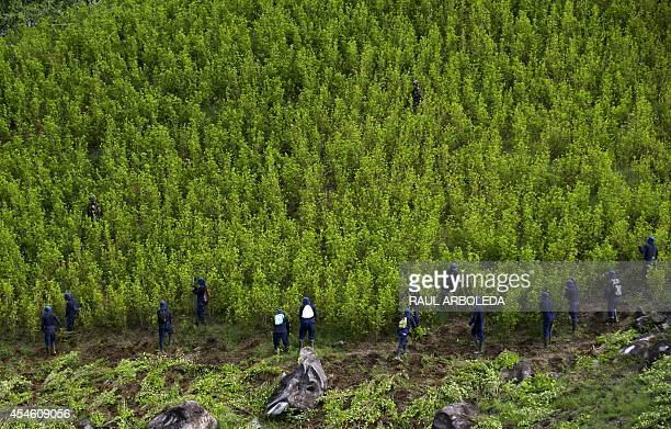 Colombian peasants work in eradication of coca plantations in the mountains of Yali municipality northeast of Medellin Antioquia department on...