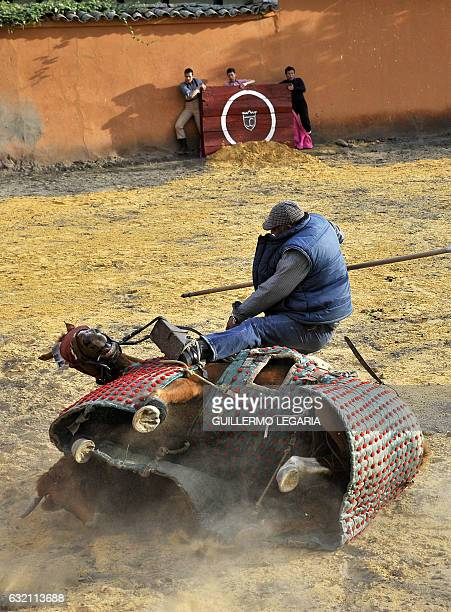 Colombian picador Cayetano Romero is thrown from his horse by a bull during a bullfighting training session at the Mondoñedo's fighting bulls ranch...