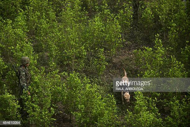 A Colombian soldier inspects coca plants with his sniffer dog as he provides security to a group of peasants working in eradication of coca...