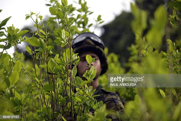 A Colombian soldier provides security to a group of peasants working in eradication of coca plantations in the mountains of Yali municipality...
