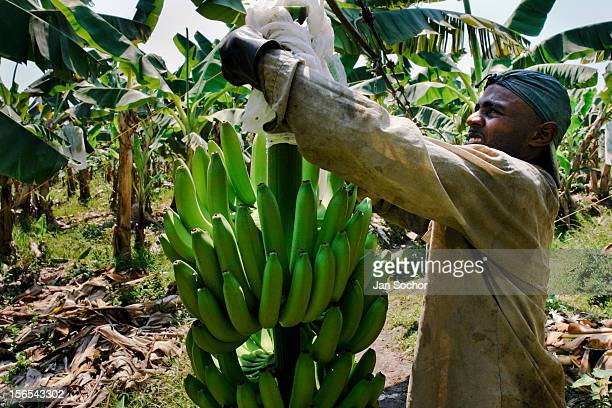 Colombian worker checks the plastic protection cover over the banana bunch on the banana plantation on March 14 2006 in Aracataca Colombia Eighty...