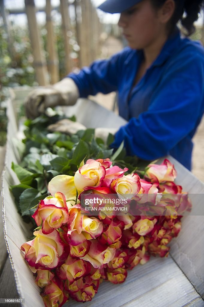 A Colombian worker selects flowers at Unique Collection farm in Cundinamarca department, Colombia on February 07, 2013. Saint Valentine's Day 2013 will be coming up with 500 million Colombian flowers sold, mainly exported to the United States. This major annual holiday generates 10 thousand additional jobs every year, primarily in Cundinamarca, where 76% of the export flowers are grown.