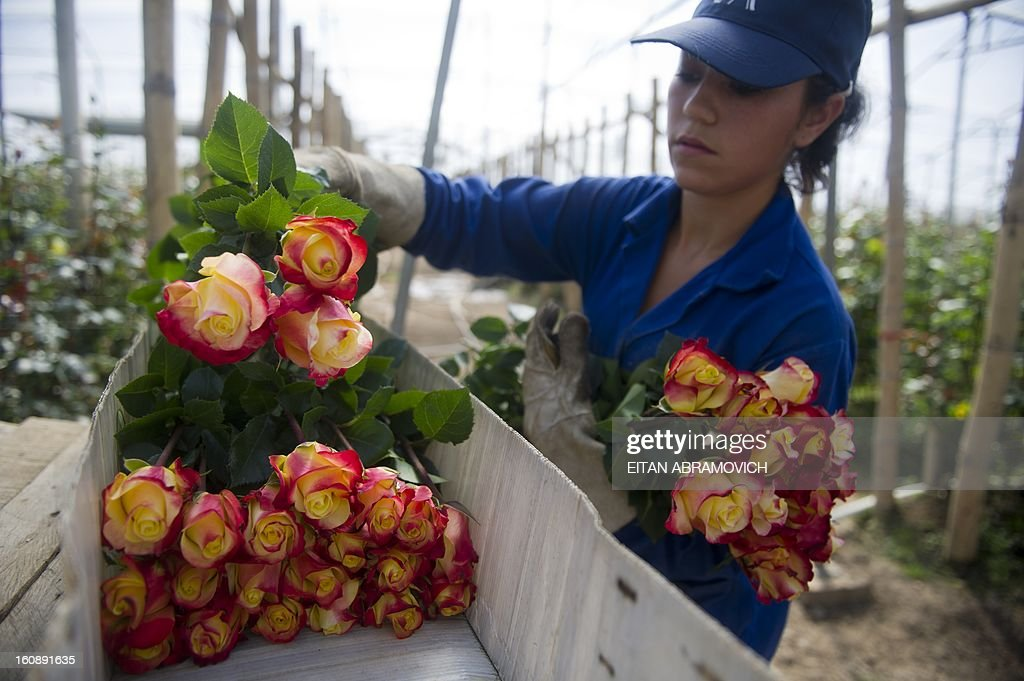A Colombian worker selects flowers at Unique Collection farm in Cundinamarca department, Colombia on February 07, 2013. Valentines Day 2013 will be coming up with 500 million Colombian flowers, mainly to the United States. This first major annual holiday generates 10 thousand additional jobs every year, primarily in Cundinamarca, where 76% of export flowers are grown. AFP PHOTO/Eitan Abramovich