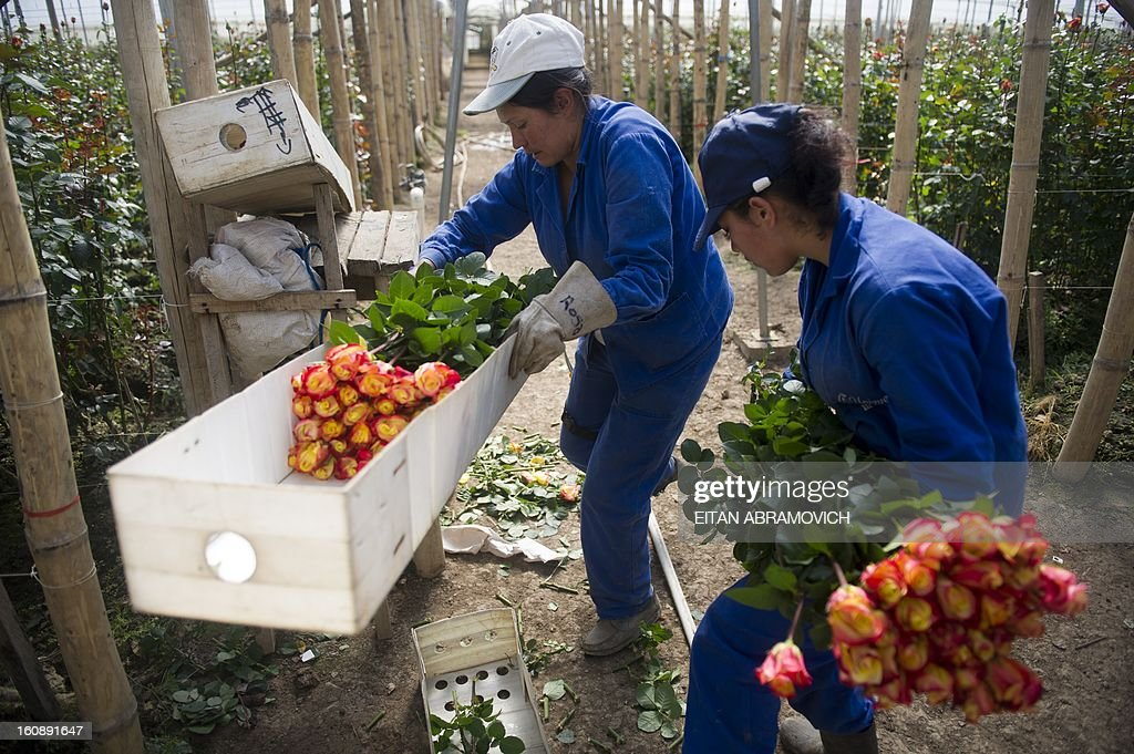Colombian workers pack flowers at Unique Collection farm in Cundinamarca department, Colombia on February 07, 2013. Saint Valentine's Day 2013 will be coming up with 500 million Colombian flowers sold, mainly exported to the United States. This major annual holiday generates 10 thousand additional jobs every year, primarily in Cundinamarca, where 76% of the export flowers are grown.