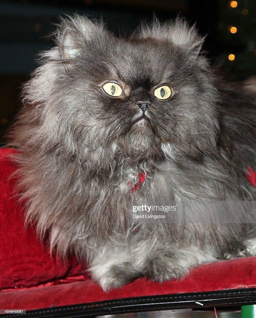 Colonel Meow attends the Internet Cat Super Group holiday unveiling event at Capitol Records Tower on December 10 2013 in Los Angeles California