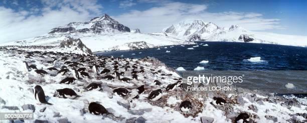 Colonie de manchots adélie sur la banquise en 1991 en Antarctique