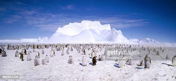 Colonie de manchots empereurs en 1995 sur la banquise en Antarctique