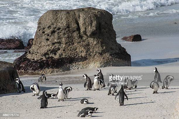 A colony of African penguins also known as the jackass penguin and blackfooted penguin live on the Boulders Beach along the Atlantic coast in South...