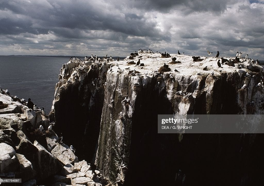 Colony of Common murres or Common guillemots Alcidae Farne Islands United Kingdom