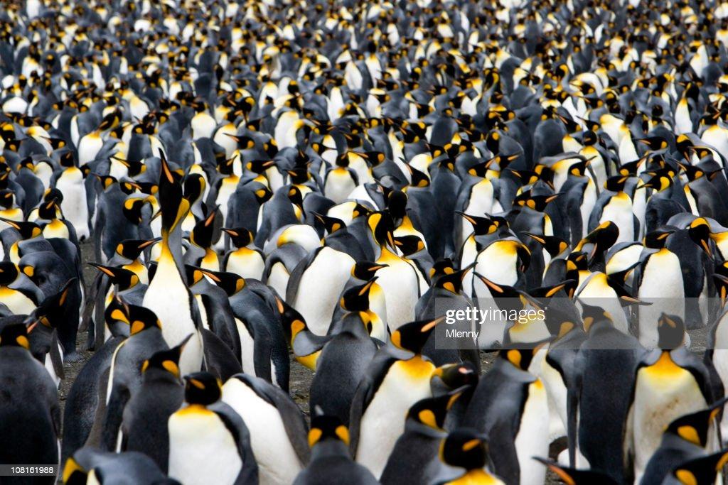 Colony of Emperor Penguins : Stock Photo
