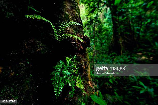 A colony of fern fronds emerge from a tree trunk in a lush rainforest.