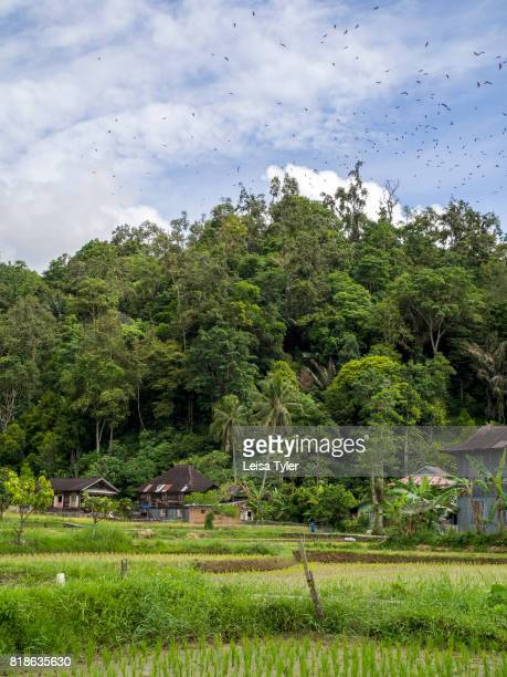 MANINJAU BUKITTINGGI SUMATRA INDONESIA A colony of fruit bats circle above rice paddies on the shores of Lake Maninjau a volcanic crater lake in West...