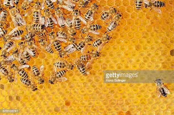 Colony of Honey Bees -Apis mellifera var carnica- on fresh honeycomb with honey