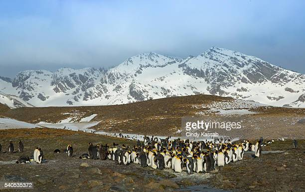 A Colony of King Penguins at St Andrews Bay