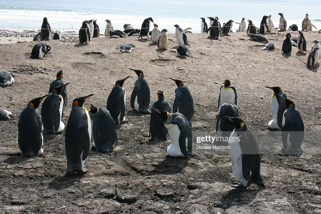 CONTENT] Colony of King Penguins at The Neck, Saunders Island in the Falkland Islands