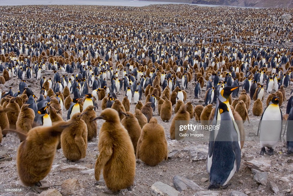 Colony of King Penguins (Aptenodytes patagonicus) in St. Andrews Bay, South Georgia Island, Southern Atlantic Islands, Antarctica : Stock Photo