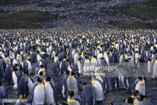 Colony of king penguins (Aptenodytes patagonicus) : Stock Photo