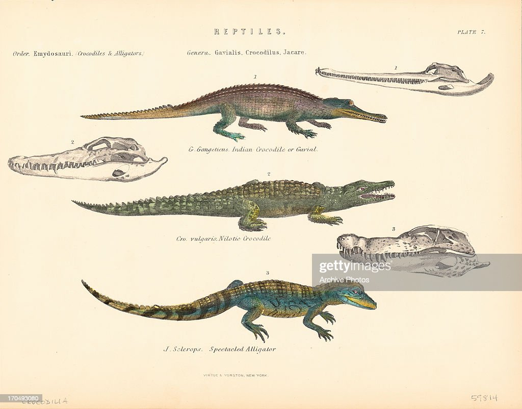 crocodiles pictures getty images
