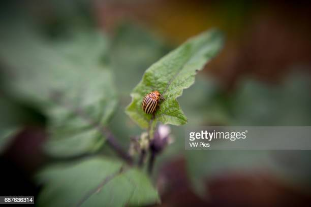 Colorada Potato beetle on a leaf in Fallston Maryland USA
