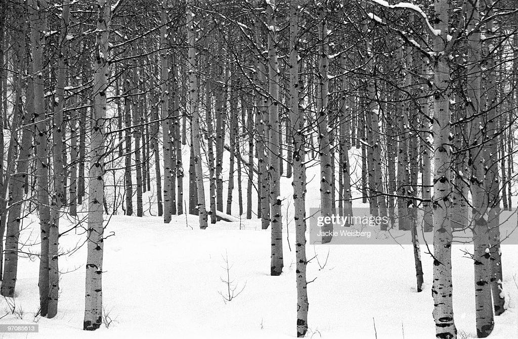 Colorado Aspens in Snow