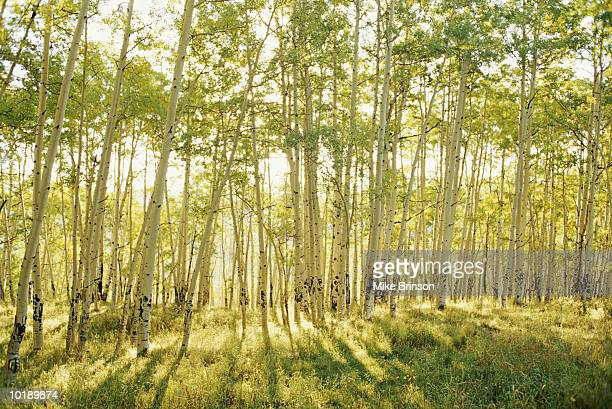 USA, Colorado, aspens in summer