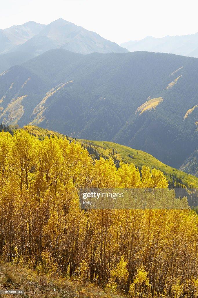 USA, Colorado, Autumn landscape with aspen trees  : Stock Photo